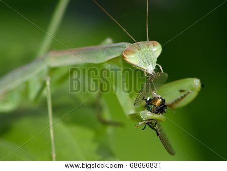Juvenile green Praying Mantis with fly