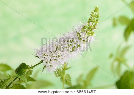 Closeup Photo Of Mint Flower