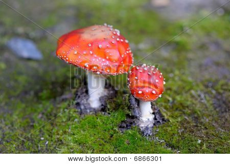 Fly Agaric Amanita Muscaria Mushroom