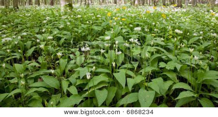 Floral Bed Of Flowering Ramson