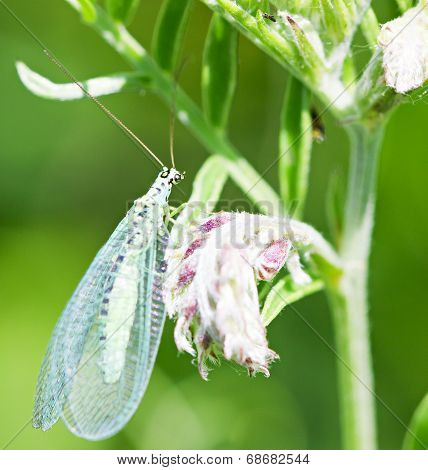 Lacewing On Stem