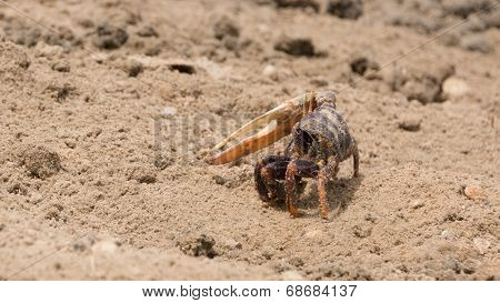 Fiddler Crab In The Sand