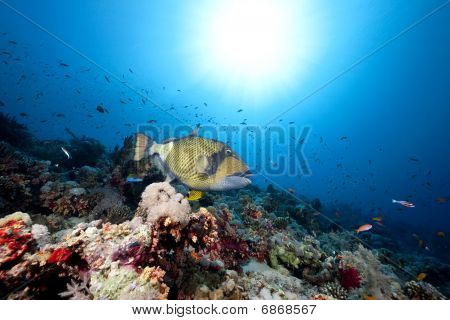 Titan Triggerfish, Ocean And Sun