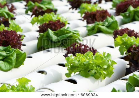 Hydroponic Vegetable