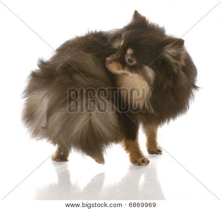 Pomeranian Chasing Tail