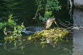 foto of grebe  - Great Crested Grebe  - JPG