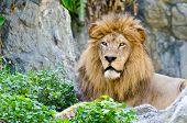 foto of mountain lion  - Male Lion rest on rocky of mountain - JPG