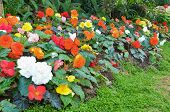 image of begonias  - Many color begonia in small flower garden - JPG
