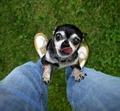 foto of begging  - a cute chihuahua begging to be picked up - JPG
