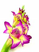 picture of gladiolus  - a mauve yellow gladiolus to white reason - JPG