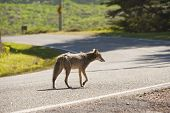 image of coyote  - a coyote alone on a deserted street