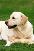 stock photo of happy dog  - Labrador retriever and a small kitten happy together - JPG