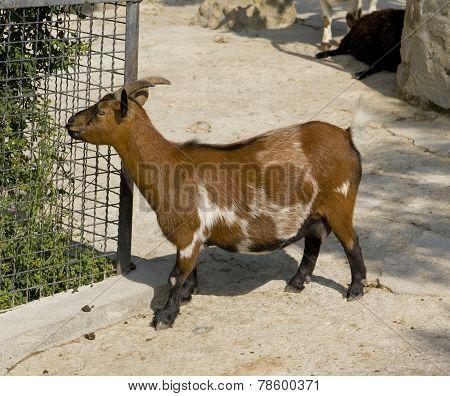 Diminutive Goat