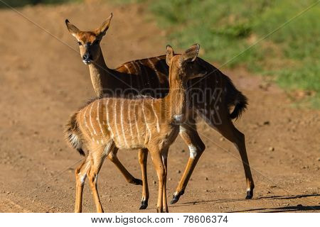 Buck Calf Wildlife