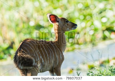 Buck Calf Wildlife