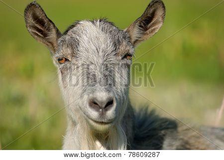 Smiling Goat, Capra