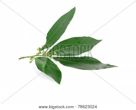 Fresh green bay leaves