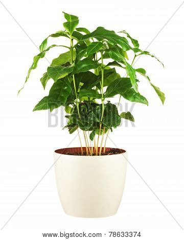 Coffee Tree In Flower Pot Isolated On White Background.