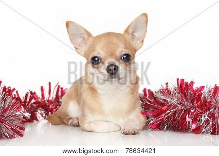 Chihuahua In Garlands