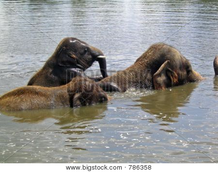 Elephant Family Swimming