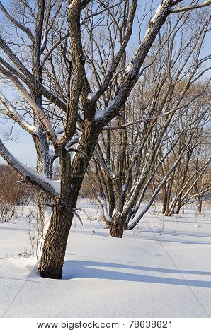Winter Landscape, Snow-covered Bare Trees
