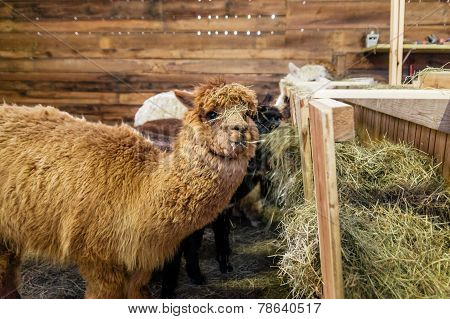 Alpaca In A Stable