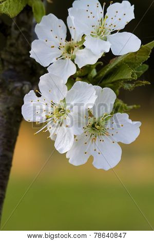 Spring Bing Cherry Blossom Background