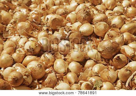 Golden Large Onion