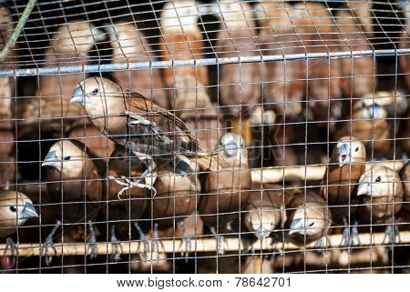 Birds In Cage In Bird Market
