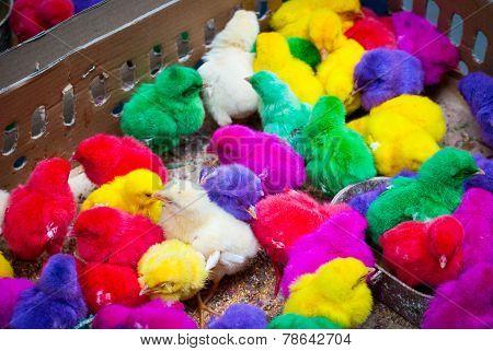 Colored Baby Chicken In Bird Market, Indonesia