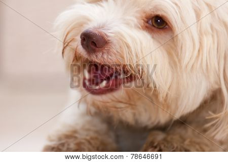 Havanese Dog With A Bone