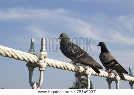 Two Pigeon Alighted On Wire Rope Bridge, Say Hi