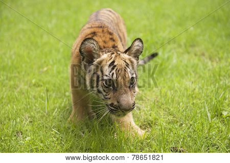 Baby Indochinese tiger plays on the grass.