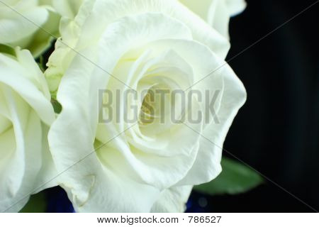 macro white rose