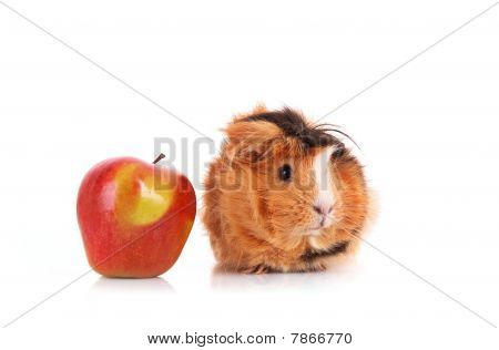 Brown Cavy And Red Apple