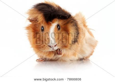 Funny Brown Cavy