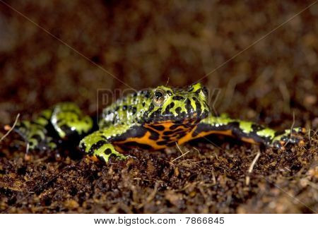 Oriental Fire Bellied Toad Male Looking At Camera, China , Green
