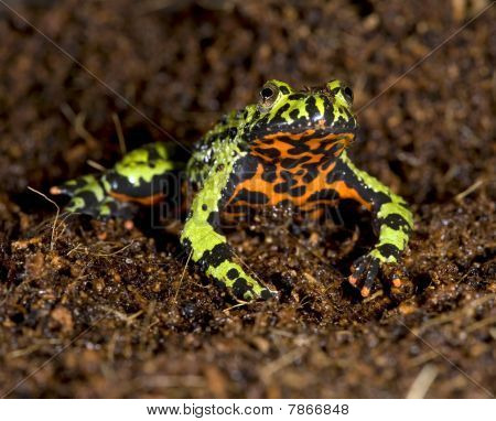 Oriental Fire Bellied Toad Male In Defensive Pose Showing Belly,