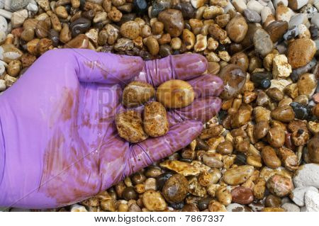 Oil Cleanup Worker Holding Rocks In Hand