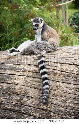 Ring-tailed Lemur Sitting On The Tree Trunk