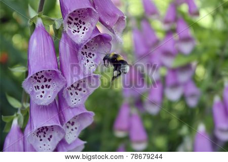 Bumblebee flying from flower foxglove