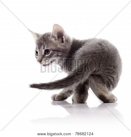 Gray Small Kitten