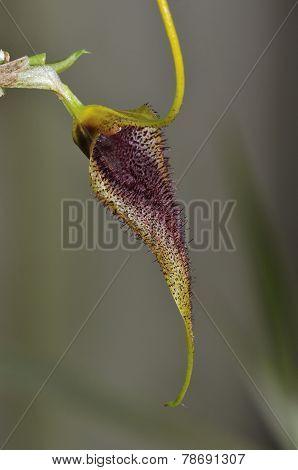 Bennett's Masdevallia Orchid