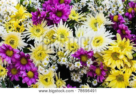 Chrysanthemum Flowers In The Garden