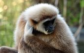 picture of ape  - Detailed view of the gibbon ape day - JPG