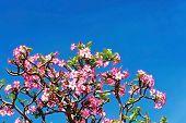 foto of desert-rose  - Beautiful desert rose or ping bignonia blue sky - JPG