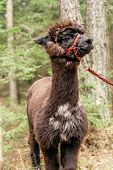 picture of reining  - Young fluffy brown alpaca with rein in a forest - JPG
