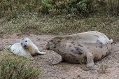 image of sea cow  - Grey Seal Cow and Pup in the dunes on a beach  - JPG