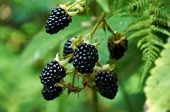 picture of blackberries  - agrestic blackberries growing on the bush in forest - JPG