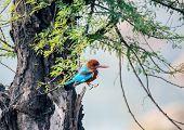 image of bill-of-rights  - blue Kingfisher bird - JPG